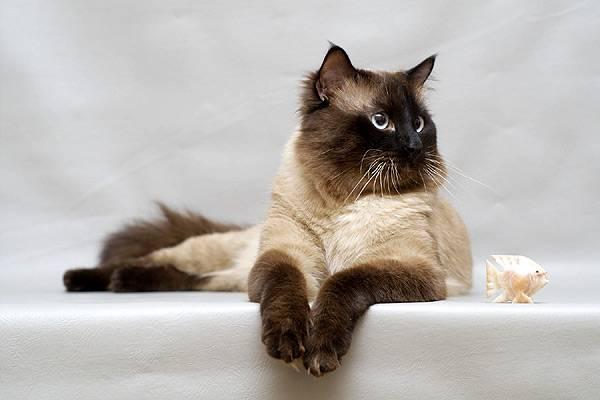 Рост популярности балинезийской породы кошек