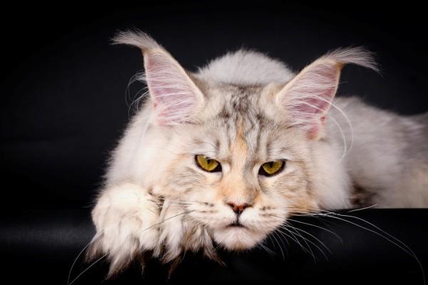Всё о кошках породы Мейн кун