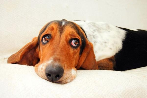 Нужно ли стерилизовать домашнюю собаку?