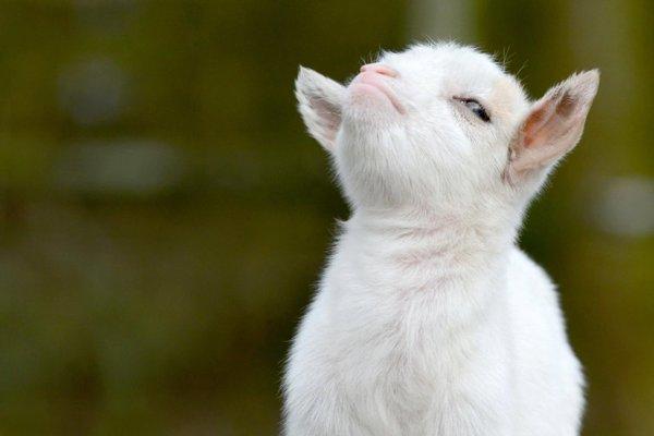 Правила игры Хваленый козел