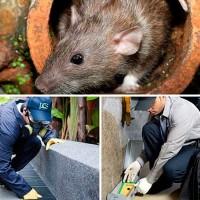 Уничтожение грызунов - что важно знать